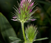 Trifolium dasyurum