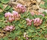 Trifolium parnassi