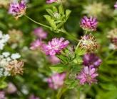 Trifolium resupinatum subsp resupinatum