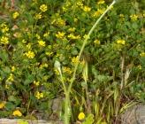 Tyrimnus leucographus
