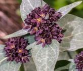 Vincetoxicum speciosum