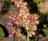 Rumex tuberosus subsp creticus
