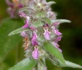 Stachys germanica subsp heldreichii