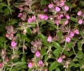 Teucrium divaricatum subsp divaricatum