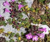 Thymus hartvigii subsp hartvigii