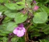 Thymus leucospermus