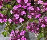 Thymus leucotrichus subsp leucotrichus