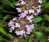 Thymus longicaulis subsp chaubardii