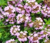 Thymus praecox subsp jankae