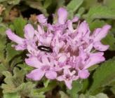 Pterocephalus perennis subsp bellidifolius