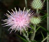 Ptilostemon gnaphaloides subsp pseudofruticosus