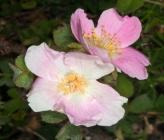 Rosa heckeliana