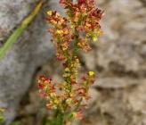 Rumex acetosella subsp multifidus