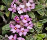Daphne sericea subsp sericea