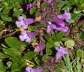 Acinos alpinus subsp hungaricus