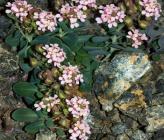 Aethionema saxatile subsp corinthiaca