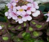 Aethionema saxatile subsp creticum