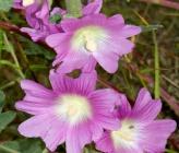 Alcea biennis subsp cretica
