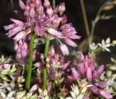 Allium meteoricum