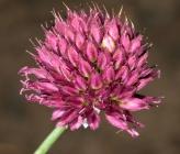 Allium sphaerocephalon subsp sphaerocephalon