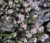Asperula pulvinaris