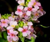 Aethionema saxatile subsp oreophilum