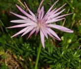 Podospermum roseum subsp roseum