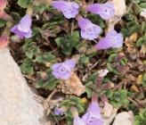 Acinos alpinus subsp meridionalis