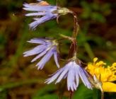 Soldanella rhodopaea