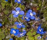 Veronica glauca subsp peloponnesiaca