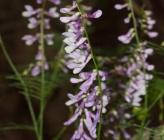Vicia tenuifolia subsp dalmatica