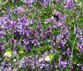 Vicia villosa subsp varia