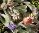 Paracaryum lithospermifolium subsp cariense