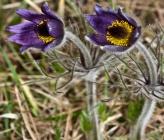 Pulsatilla halleri subsp rhodopea