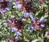 Salvia pomifera subsp pomifera