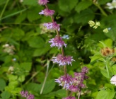 Salvia verticillata subsp verticillata