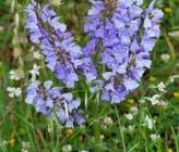 Salvia virgata