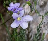 Linum perenne subsp alpinum
