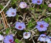 Lithodora hispidula subsp hispidula