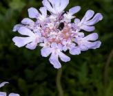 Lomelosia hymettia
