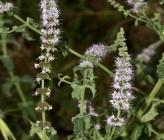 Mentha spicata subsp condensata