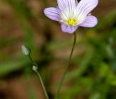 Moenchia mantica