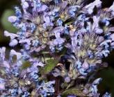 Nepeta nuda subsp nuda
