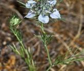 Nigella arvensis subsp aristata