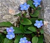 Omphalodes luciliae subsp scopulorum