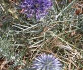 Echinops graecus