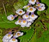 Haberlea rhodopensis