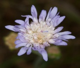 Knautia integrifolia subsp integrifolia