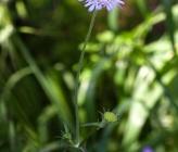 Knautia integrifolia subsp urvillei