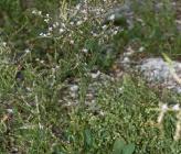 Limonium corinthiacum